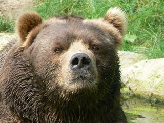 Face_male_kodiak_bear